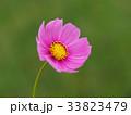 コスモス 33823479