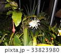 夜大きな白い花を咲かせ夜の内に萎むゲッカビジンの花 33823980