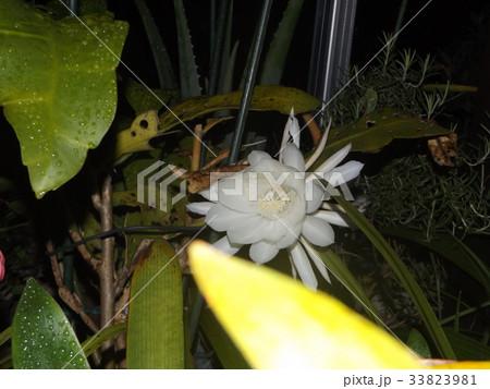 夜大きな白い花を咲かせ夜の内に萎むゲッカビジンの花 33823981