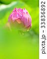ハスの花(つぼみ) 33836892