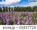 ファーム ラベンダー ラベンダー畑の写真 33837720