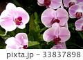 胡蝶蘭 33837898