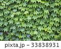 緑 緑色 ツタの写真 33838931