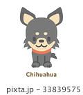 チワワ 33839575