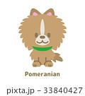 ポメラニアン 33840427