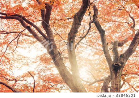 紅葉の木々 33846501