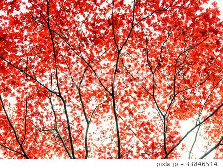 紅葉の木々 33846514