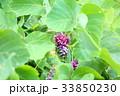 花 秋の七草 葛の写真 33850230