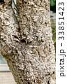 コルクガシの木の幹 33851423