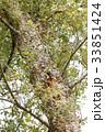 コルクガシの木の幹 33851424