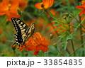 コスモス 秋桜 アゲハチョウの写真 33854835