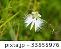 鷺草 植物 花の写真 33855976