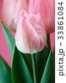 チューリップの花 33861084