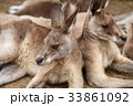 カンガルー 動物 有袋類の写真 33861092