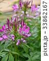 花 ピンク色 クレオメの写真 33862167