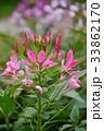 花 クレオメ 酔蝶花の写真 33862170