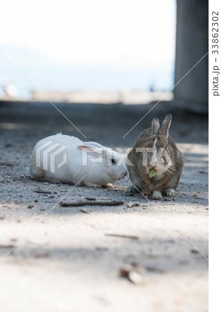 大久野島 ウサギ 33862302