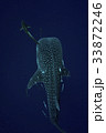 Whale shark is a big fish in the sea. 33872246