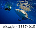 Surprised divers with whale sharks 33874015