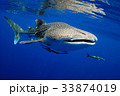 Whale shark is a big fish in the sea. 33874019