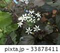 ニラの白い花 33878411