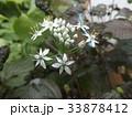 ニラの白い花 33878412
