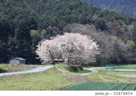 関田の桜 33878854