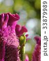 カマキリ 蟷螂 ケイトウ 鶏頭 生物 花 夏 自然 環境 33879989