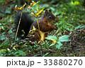 リス りす 栗鼠の写真 33880270