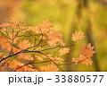 秋に色づいた葉 33880577
