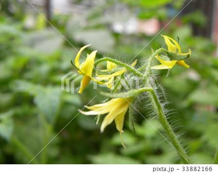 黄色いかわいい花はミニトマトの花 33882166