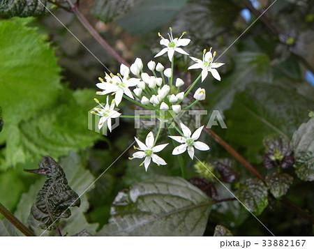 家庭菜園のニラの白い花 33882167