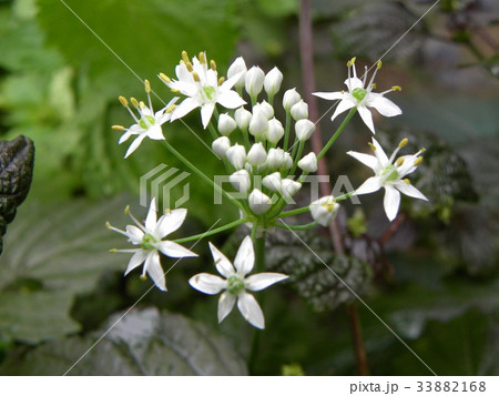 家庭菜園のニラの白い花 33882168