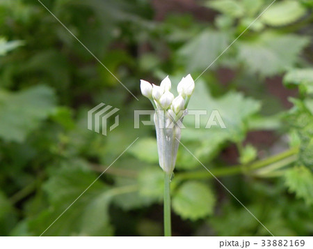家庭菜園のニラの白い蕾 33882169
