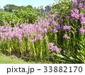 ハナトラノオの桃色の花 33882170