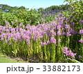 ハナトラノオの桃色の花 33882173