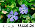 Close Two Small Garden Blossom Lilac Flower 33886120