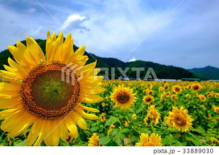 ひまわり開花 33889030