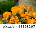 花 ビオラ オレンジ色の写真 33893297