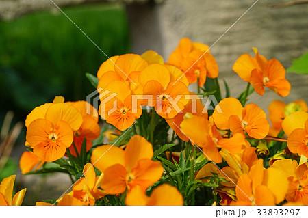 オレンジ色が美しいビオラ 33893297