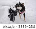 雪の犬と黒柴 33894238