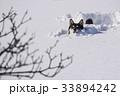雪原の中を進む黒柴 33894242