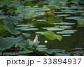 ゴイサギ 蓮池 野鳥の写真 33894937