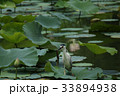 ゴイサギ 蓮池 野鳥の写真 33894938