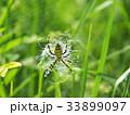 長黄金蜘蛛 コガネグモ科 蜘蛛の写真 33899097