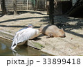 カピバラと鳥 33899418