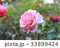 薄ピンクのバラ 33899424