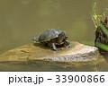 ミシシッピアカミミガメの甲羅干し 33900866