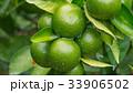 木になる未熟なみかん 33906502