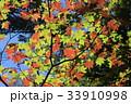 初秋 紅葉 もみじの写真 33910998